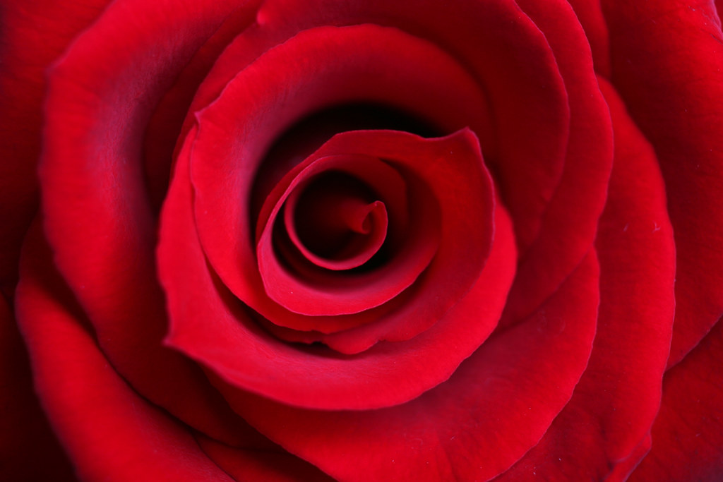 Red Rose Close Up Red Rose Blossom Macro Extreme Close