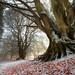 Winter Beech