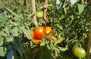 Some of our Grosse Lisse tomatoes, almost ready to pick!