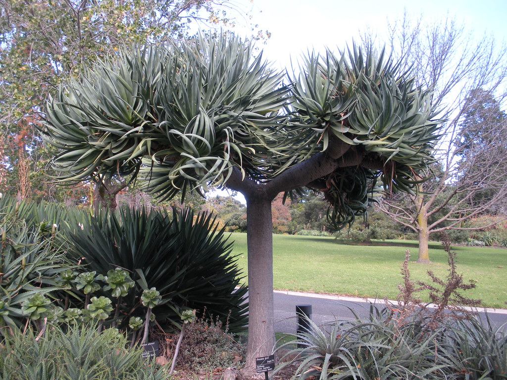 canary islands dragon tree dracaena draco agavaceae. Black Bedroom Furniture Sets. Home Design Ideas