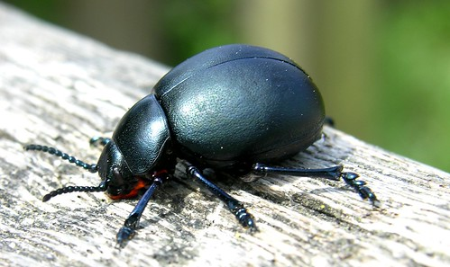 Bloody-nosed beetle | by Giles Watson's poetry and prose