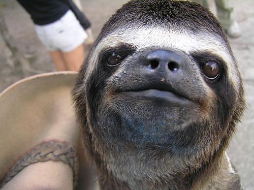 Sloth Smiling Three toed sloth smiles