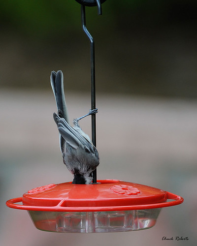 Chickadee Hummingbird Feeder on a Hummingbird Feeder