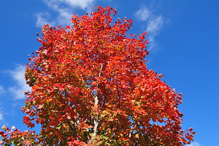 One of my October Glory Maple Trees | by True Blue!