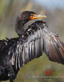 Double Crested Cormorant | by RoninRtist