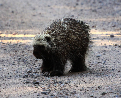 Porcupine | by Laura Erickson