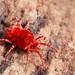 Giant Red Velvet Mite - Trombidium grandissimum