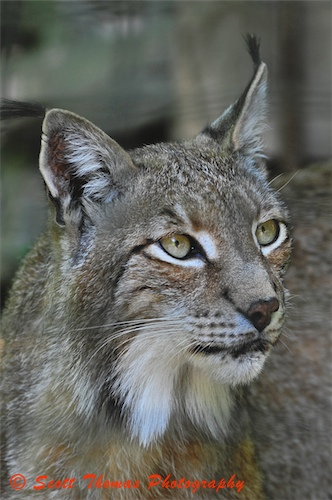 Eurasian Lynx Portrait | by Scottwdw