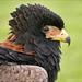 Bateleur Eagle 2