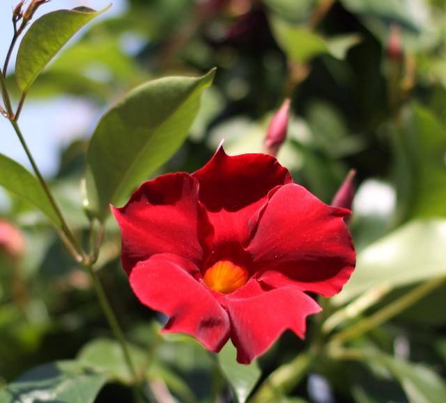 Mandevilla Dipladenia Sun Parasol Crimson Karl Gercens Flickr