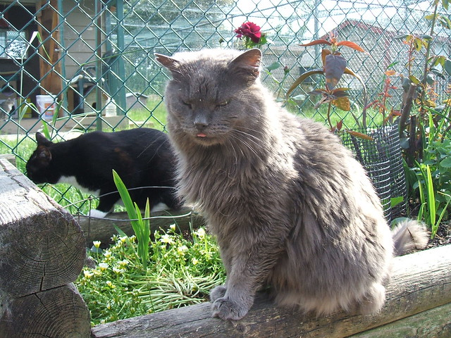 Richmond Animal Protection Society Cat Sanctuary Pheobe