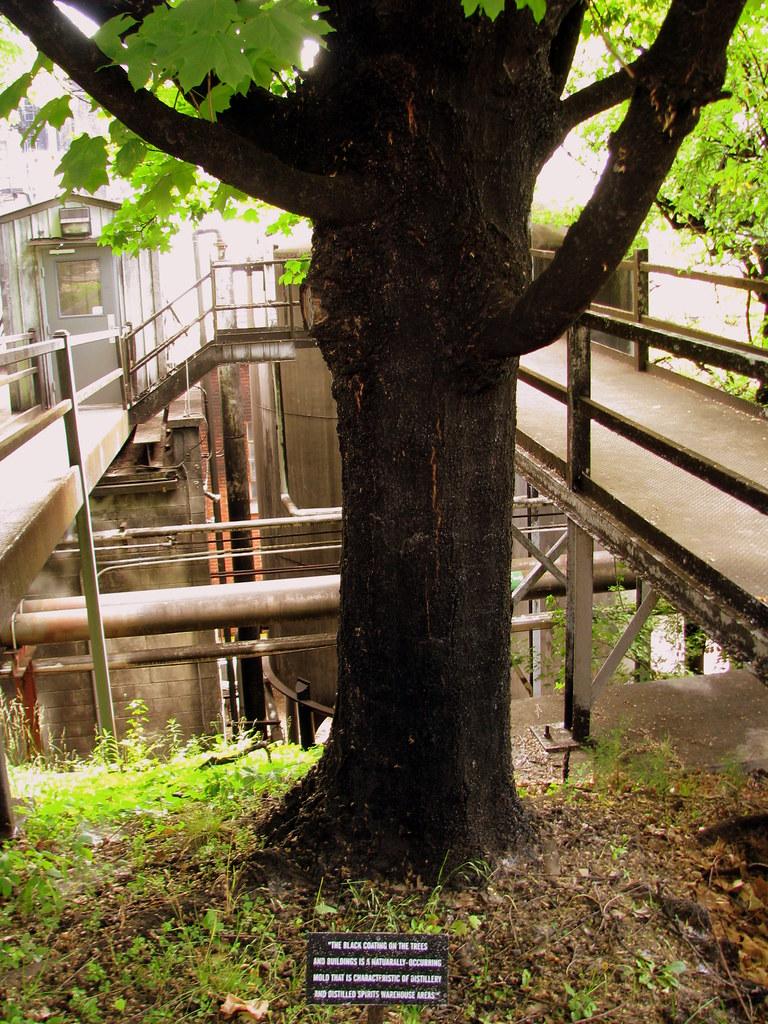Black Trees Seen Along The Jack Daniels Distillery Tour