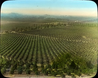 Orange groves near Riverside, California | by OSU Special Collections & Archives : Commons