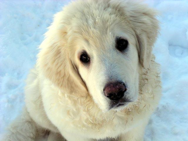 Milka, puppy Polish Ta...