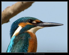 Common Kingfisher,Alcedo atthis,Vodomar,Dusan Petrovic | by Dusan Petrovic