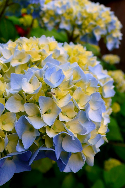 Blue Yellow Hydrangea 213 I Just Don T Know Its Name