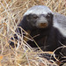 Ratel (Mellivora capensis) or Honey Badger