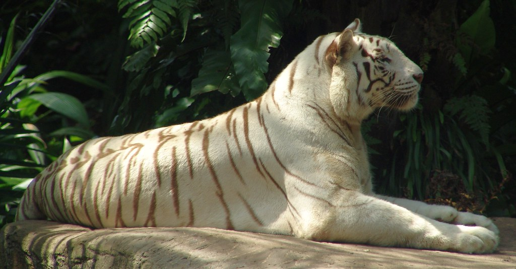 white tiger essay