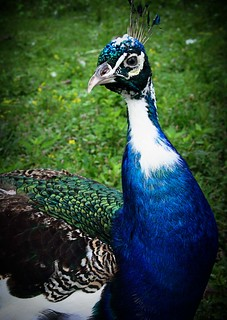 Henry's Ark: Peacock | by bmurphy502