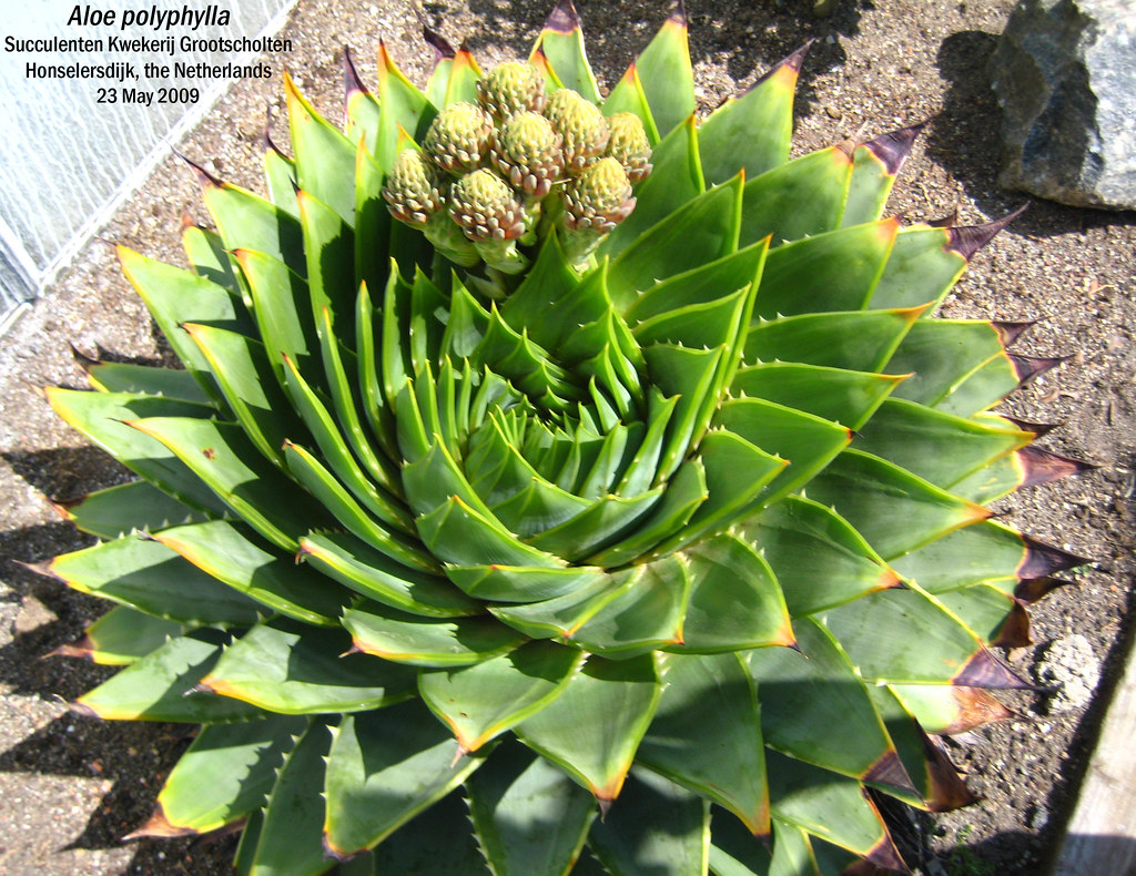 aloe polyphylla Use this forum to help with identification issues and to show off your beautiful plants, one species, subspecies, and cultivar at a time.