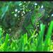Camouflage Iguana
