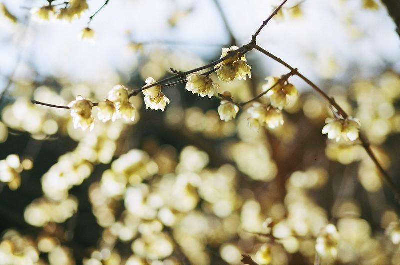 wintersweet|蝋梅
