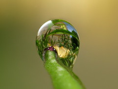 The first dew drop - rotated, zoomed | by Aylesbury_Mark