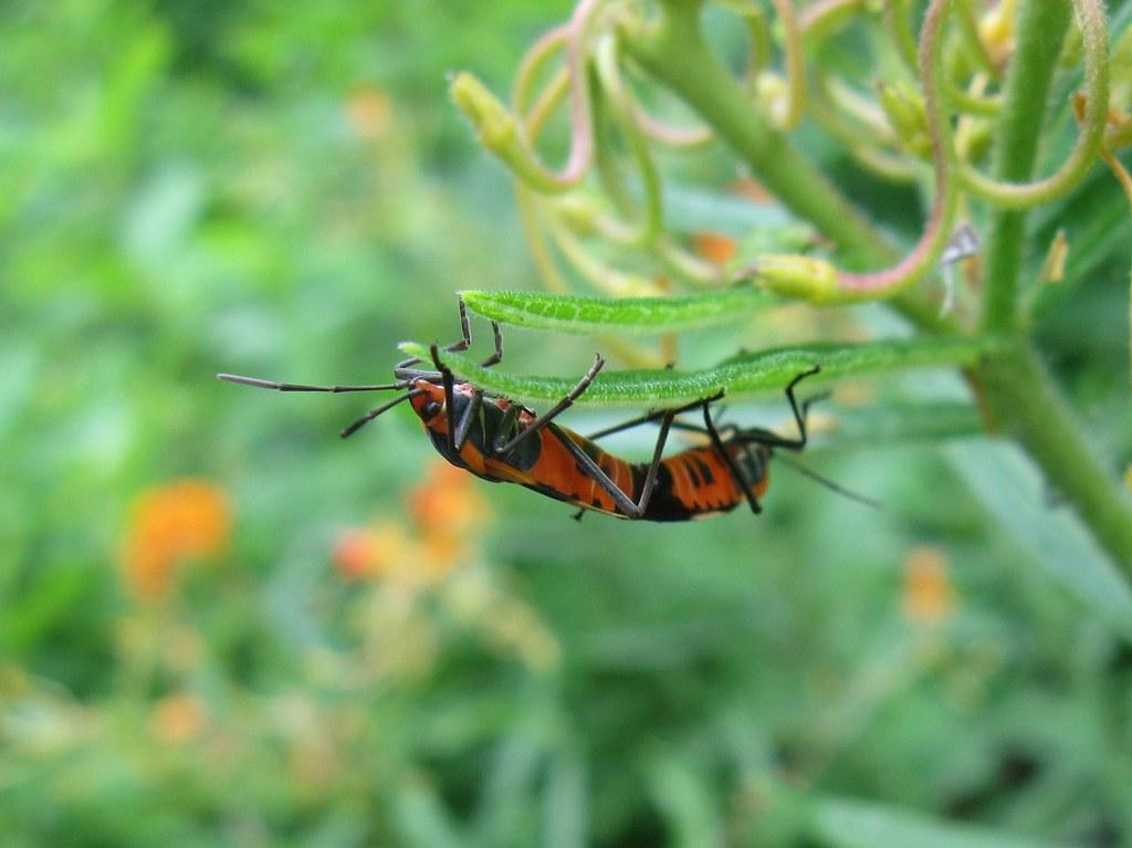 orange and black bugs mating libby flickr. Black Bedroom Furniture Sets. Home Design Ideas