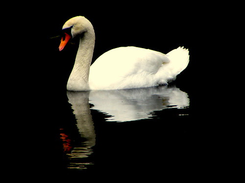 dark side of swan | by coral.hen4800