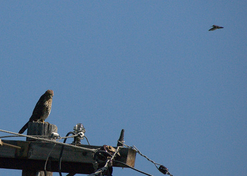 humming hawk2 | by Contra Costa Times