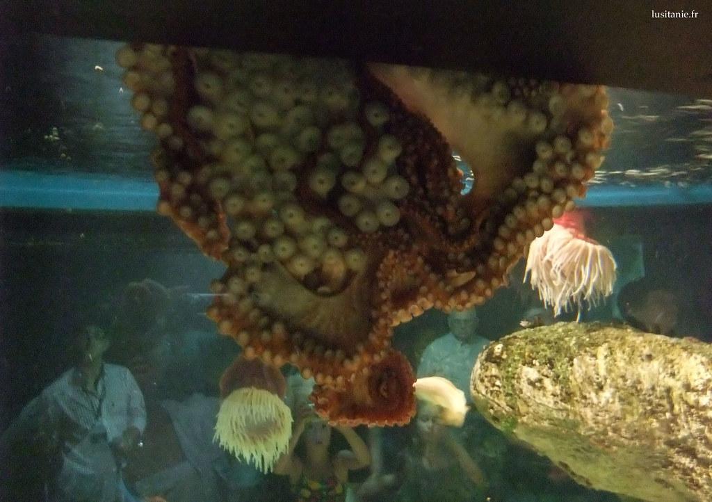 Les pieuvres se collent aux parois de l'aquarium