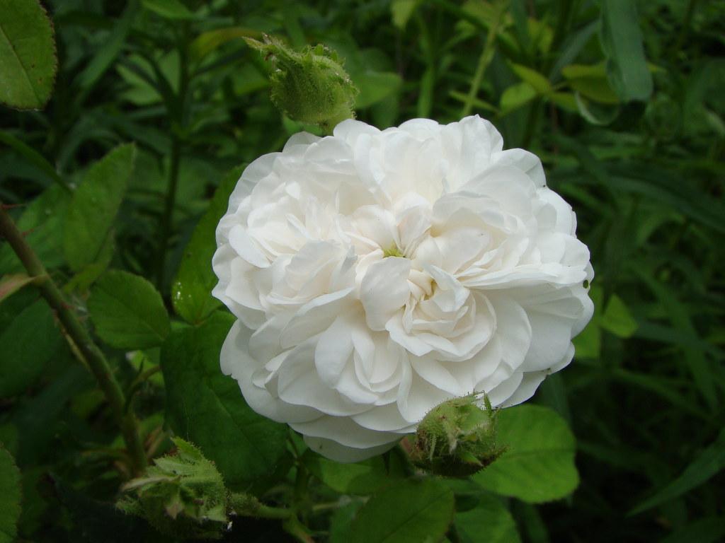 old rose madame hardy vasenkaphotography flickr. Black Bedroom Furniture Sets. Home Design Ideas