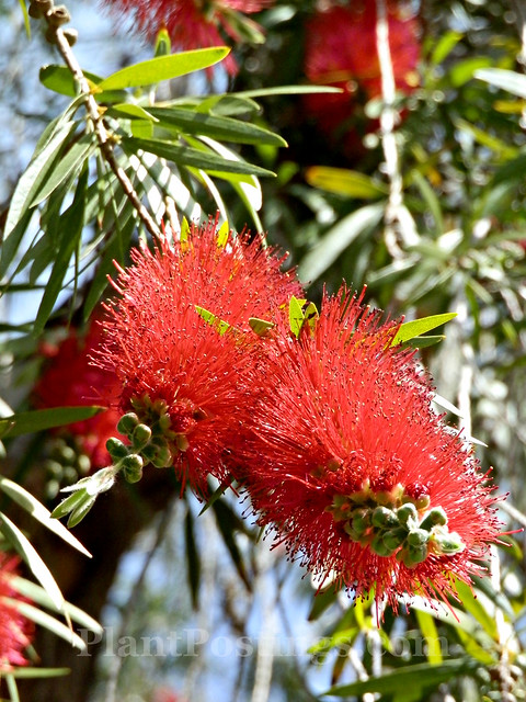 bottlebrush 2