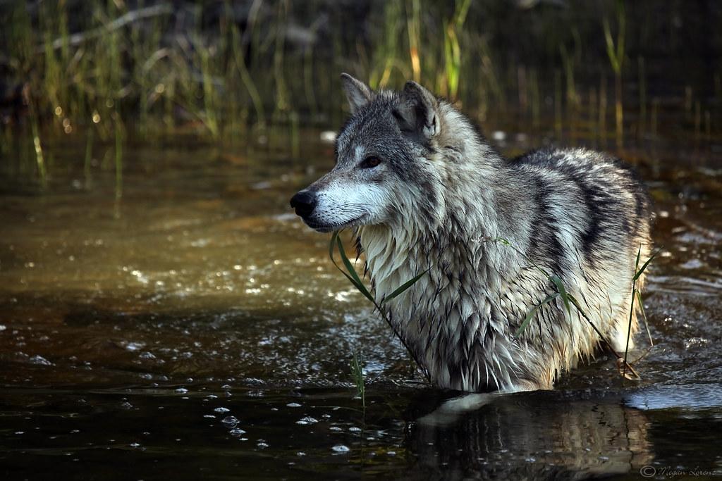 Wolf Pack Dog Training
