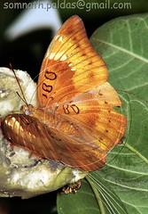 012. Butterfly - Common Baron (Vusoonda) ??