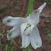 delphinium carolinianum ssp. calciphilum, south chickamauga creek, catoosa county, georgia 2