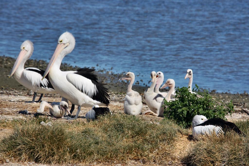 baby pelicans feeding on pelican island wallis lake flickr. Black Bedroom Furniture Sets. Home Design Ideas