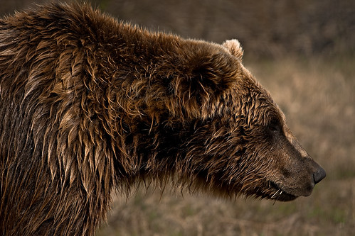Grizzly | by kimrose...