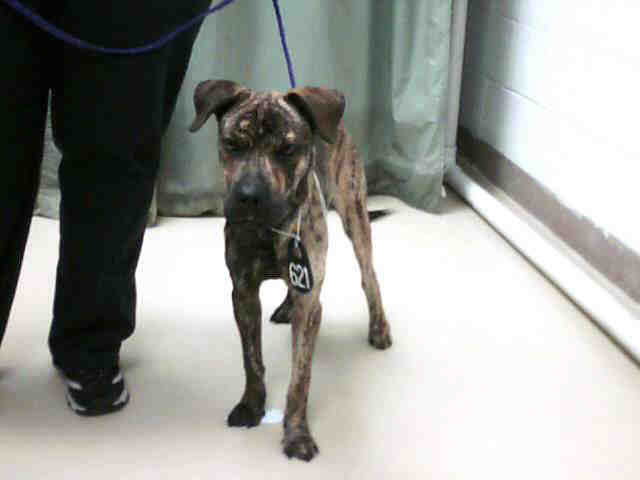 Brindle Shar Pei Mix Male This Lucky Dog Was Labeled A Sh Flickr