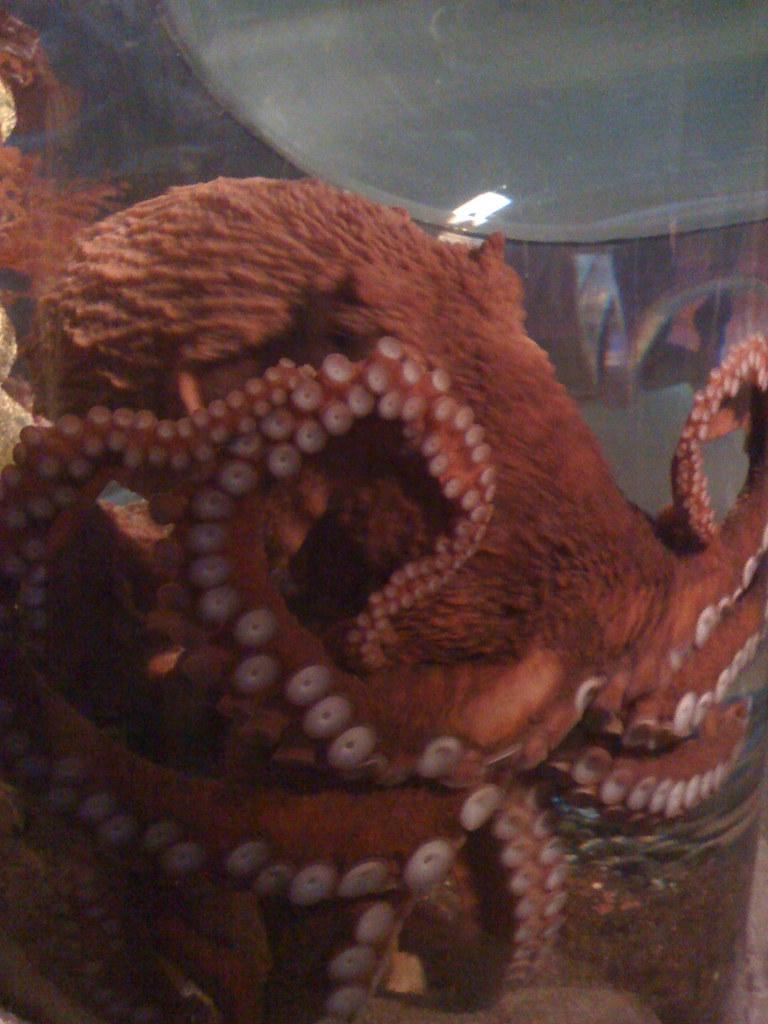 Octopus Seattle Aquarium Octopus 39 S Garden Seattle