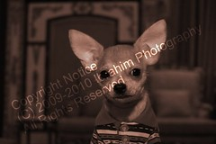 Jerry, The Chihuahua | by Ibrahim photography [Qatar]