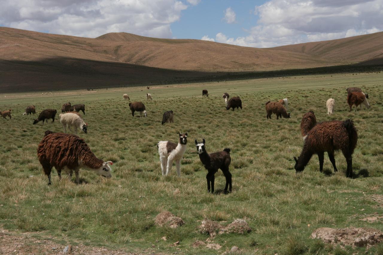 grazing llamas