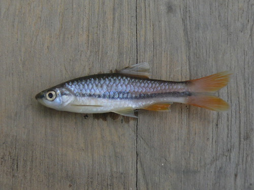 Rasbora einthovenii2 | by East Asia & Pacific on the rise - Blog