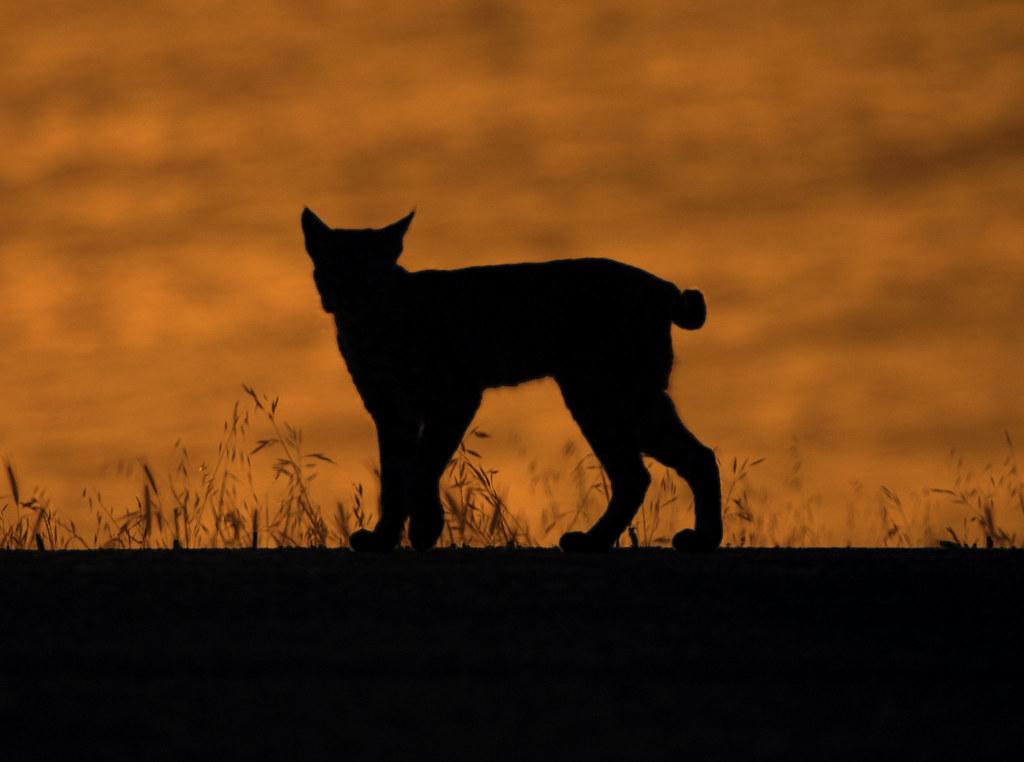 bobcat lynx rufus in silhouette montana de oro state par flickr