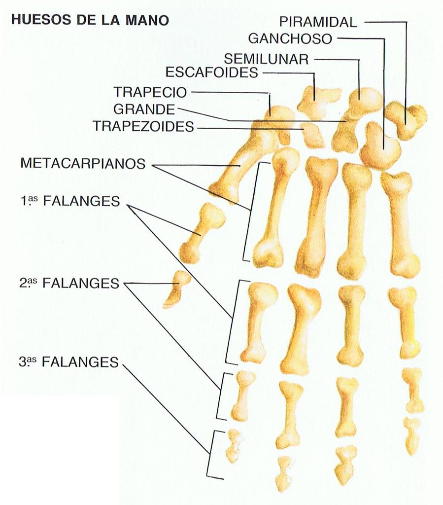 Huesos de la mano   futvoley   Flickr
