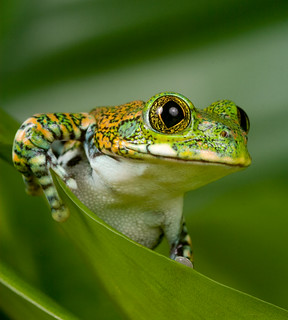 112 - Peacock Tree Frog | by Sera.D.