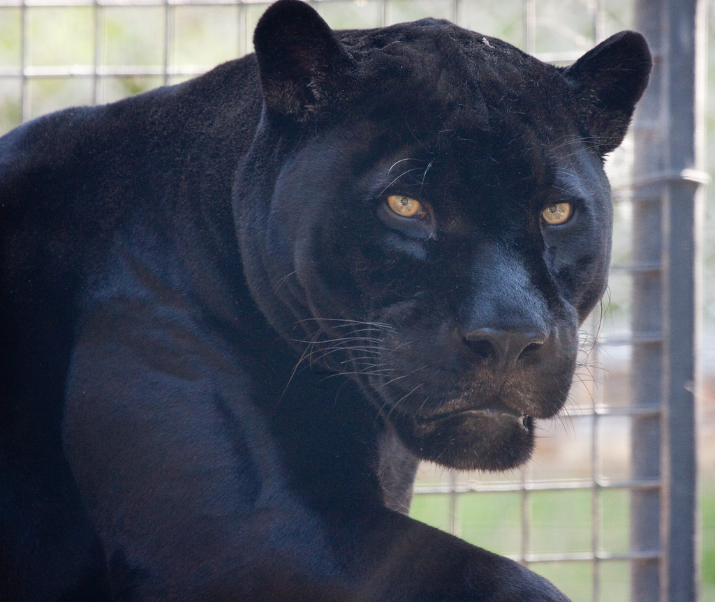 Orson the black jaguar | with an evil grin on his face ...