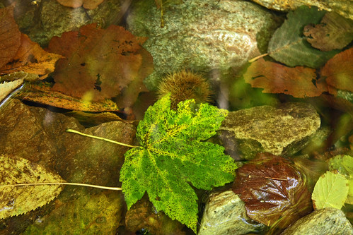 Leaves in the water | by bormanus_sv