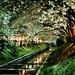 Cherry Blossoms in the Night (Yozakura)