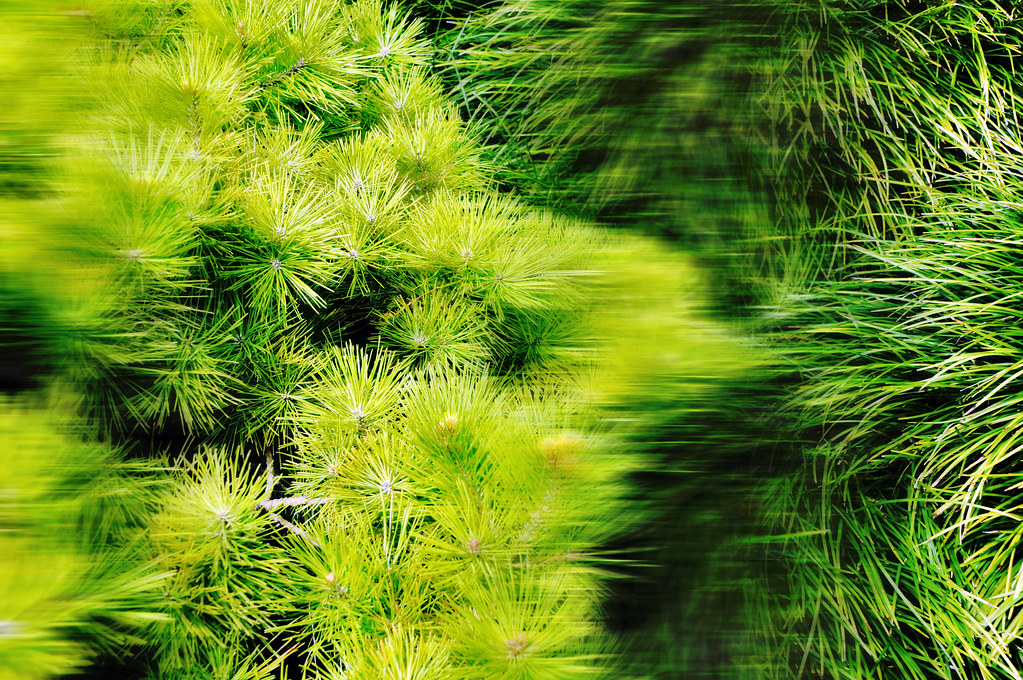 Pine tree needles ornamental grass japanese garden fort wo for Japanese ornamental grass